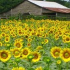 Anderson's Sunflower Field Opens Tuesday